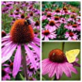 Coneflower Seeds - Echinacea Purpurea - Perennial Herb Flower - Non-GMO Open Pollinated