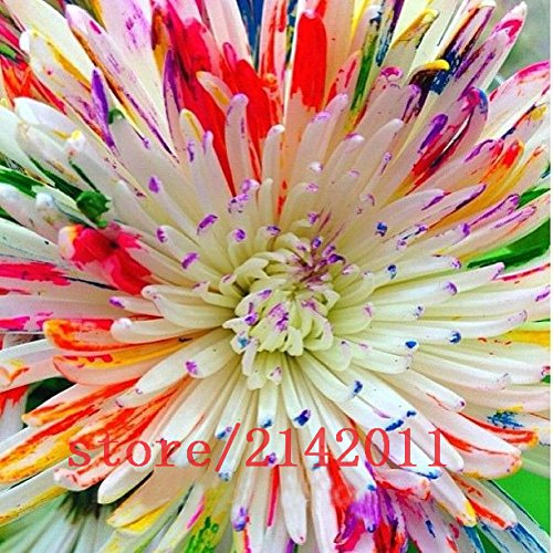 Home Daisy - 100 pcs/bag mix rainbow daisy seeds,chrysanthemum seeds,rare flower seeds,Natural growth for home garden planting