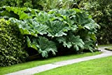 2 Gunnera Manicata Plants - Live potted Dinosaur Food Plants- Huge 6-8 ft leaves