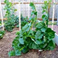 Green Malabar Spinach,100 Seeds - Heat loving, frost sensitive.fast-growing vine