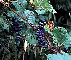 25 seeds Riverbank Grape Seeds (Vitis riparia) Perennial Vine - Extremely Cold Hardy