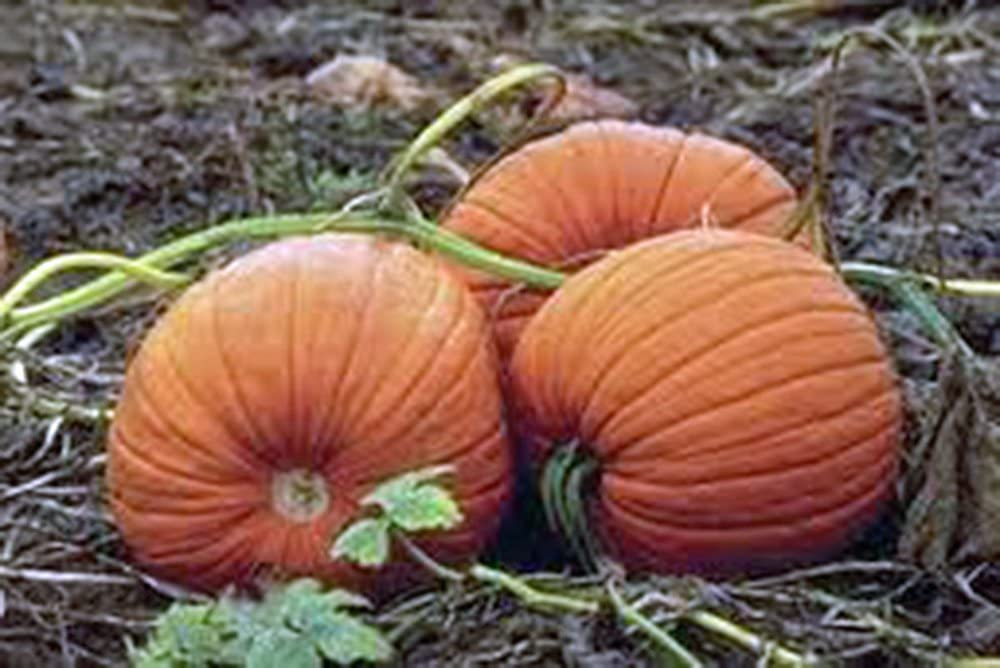 Pumpkin Seed, Mammoth Gold, Heirloom, Non GMO 25+ Seeds, Large Pumpkins