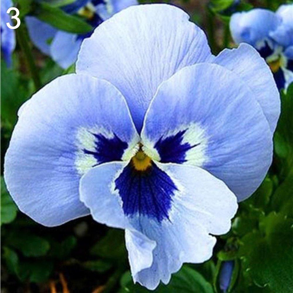 Azul Jiacheng29-100 Semillas de Pensamiento Multicolor bons/ái Semillas decoraci/ón del hogar y el jard/ín Talla /única