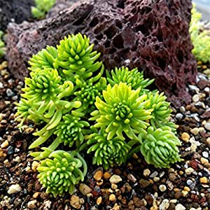 50pcs Roof Garden Sedum Lineare Seeds Perennial Succulents