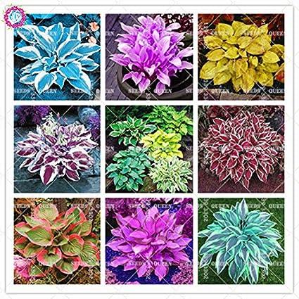 Amazoncom Colorful Hosta Seeds Indoor Bonsai Flower Seeds Coleus