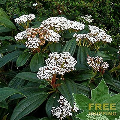 Leather Leaf Viburnum Viburnum Rhytidophyllum - 15 Seeds. : Garden & Outdoor