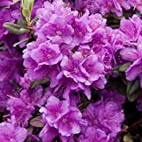 Rhododendron Ramapo Ericaceae - 1 Plant - Live Outdoor Shrub in 9cm Pot
