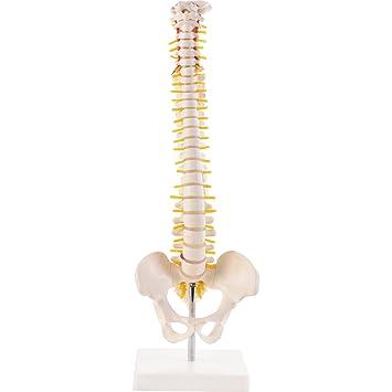 Mini-Wirbelsäule, anatomisches Modell der Wirbelsäule des Menschen ...