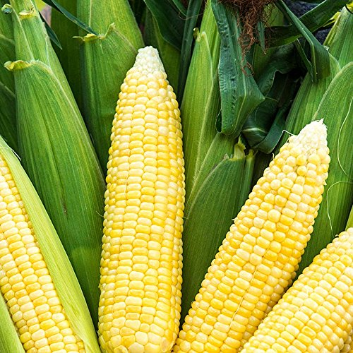 Bodacious RM Hybrid Sweet Yellow Corn, 75+ Premium Heirloom Seeds,Sweet & Yummy & Bodacious! Fantastic addition to your home garden! (Isla's Garden Seeds), 90% Germination Rates, Highest Quality Seeds