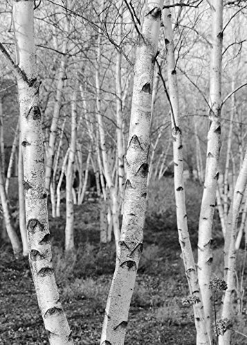 Amazoncom Birch Trees Picture Black And White Art Print Photo
