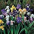 REBLOOMING Bearded Iris Colorful Cocktail Mix - 3 Large Rhizomes