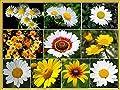 Daisy Collection - Half Annual, Half Perennial and Sun to Partial Shade