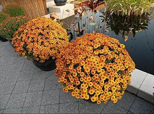 100pcs / bag cubre suelos semillas crisantemo, crisantemo bonsai semillas de flores perenne margarita planta para el jardín de 9 en maceta: Amazon.es: Jardín
