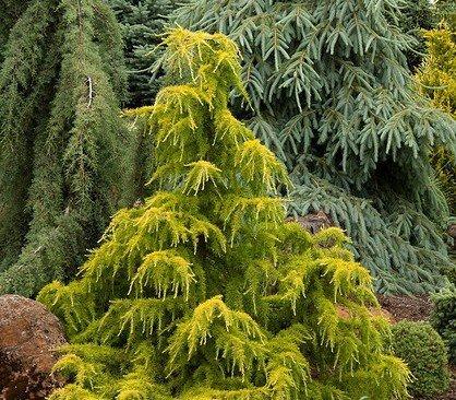 Gold Cascade Deodar Cedar 3 - Year Live Plant
