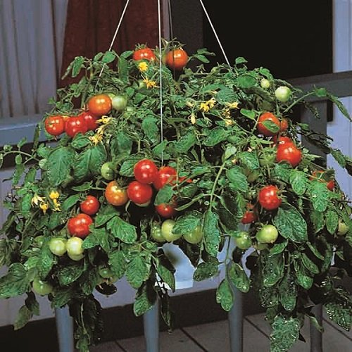 Kings Seeds - Tomato Tumbler F1 - 12 Seeds