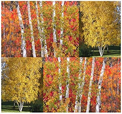 4 Packs x 10 Paper Birch - Betula papyrifera - Tree Seed Seeds - FAST GROWTH TREE - GOLDEN AUTUMN COLORS ~ Zones 2-6 - By MySeeds.Co