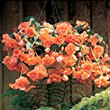 """Amerihybrid Tuberous Begonia Hanging Basket Fresh Apricot (3 Big Bulbs) 4"""" Trailing Blooms 
