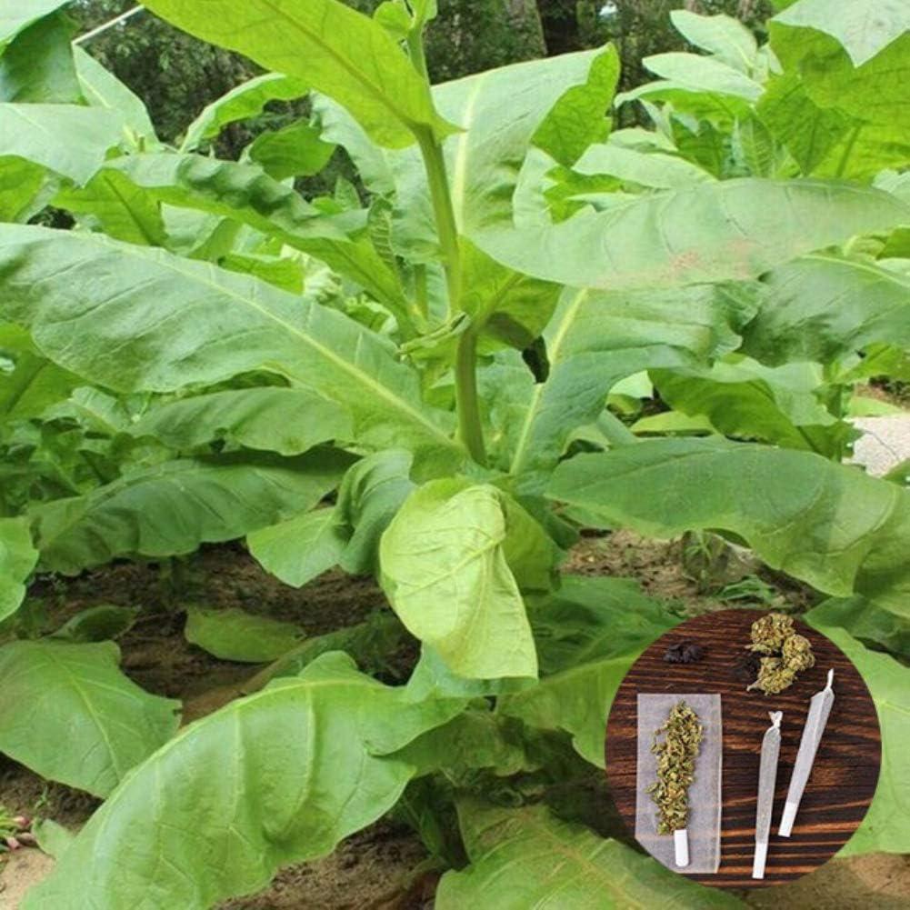 clifcragrocl semillas 30pcs Organic Virginia tabaco heirloom semillas de plantas frescas fácil de cultivar