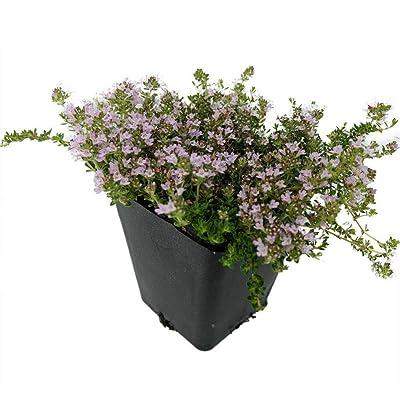 """AchmadAnam - Live Plant Thymus Minus Elfin Thyme World's Smallest Thyme Plant 3"""" Pot Garden : Garden & Outdoor"""