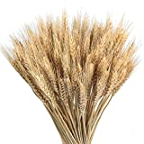 GTIDEA Large Golden Dried Natural Wheat Sheave Bundle Premium Spring Arrangements Full Wholesale DIY Home Kitchen Table Wedding Centerpieces Decorative