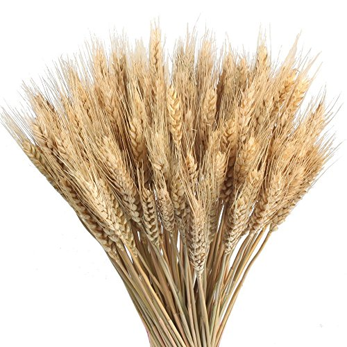 HO2NLE Large Golden Dried Natural Wheat Sheave Bundle Premium Spring Arrangements Full Wholesale DIY Home Kitchen Table Wedding Centerpieces Decorative by HO2NLE