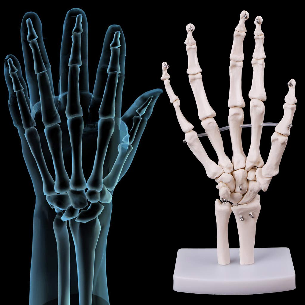 jiken Hand Joint Anatomical Skeleton Model Human Medical Anatomy Study Tool Life Size