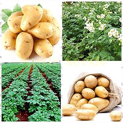 New Fresh Bonsai 50 Pcs Potato Bonsai Nutrition Green Vegetable for Home& Garden Planting Potato Bonsai Absorbing Radiation