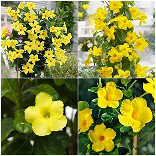Mandevilla ~ Dipladenia Yellow Vine Live Plant 1 feet Tall or ()