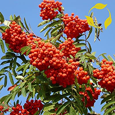 EUROPEAN MOUNTAIN ASH Sorbus Aucuparia 20 SEEDS