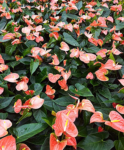 Anthurium Peach - Live 4'' House Plant - Easy to Grow - Florist Quality - Cleans the Air by Florida Foliage (Image #1)