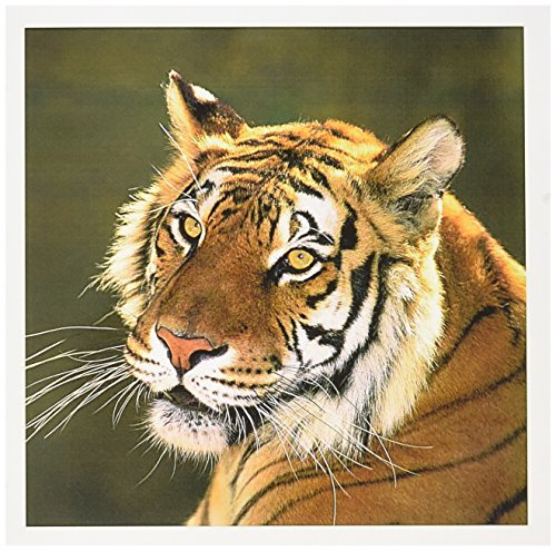3dRose Greeting Cards, California, Bengal Tiger At Wildlife Waystation, Us05 Bja0221, Jaynes Gallery, Set of 6 (gc_88203_1) - Bengals Card