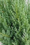 2.5 Qt - Blue Point Juniper - Evergreen Tree