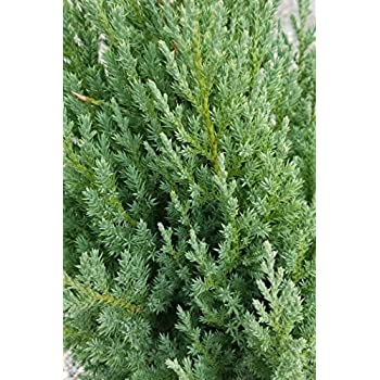 2 5 Qt - Blue Point Juniper - Evergreen Tree