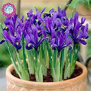 Raras Iris Semillas Semillas Bonsai Colores de flores de la herencia Iris tectorum perenne de flores semillas de plantas para jardín 50 PC 2