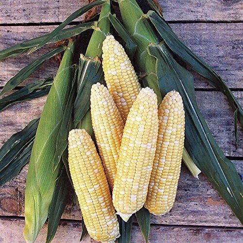Bi-Color Delicious Sweet Corn, Multi Color, 75+ Premium