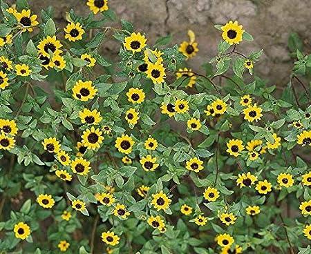 50 Seeds Creeping Zinnia