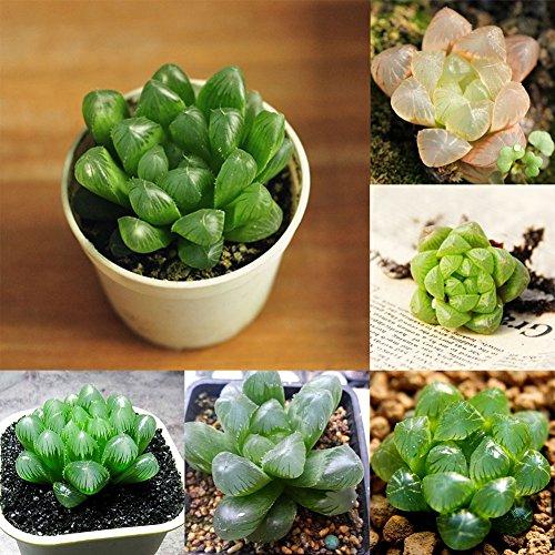 Move on 100 Pcs/Bag Mini Succulents Flower Seeds Plant Potted Bonsai Summer (Mini Succulents Flower)
