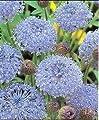 100 BLUE LACE FLOWER (Island Daisy) Trachymene Coerulea Flower Seeds
