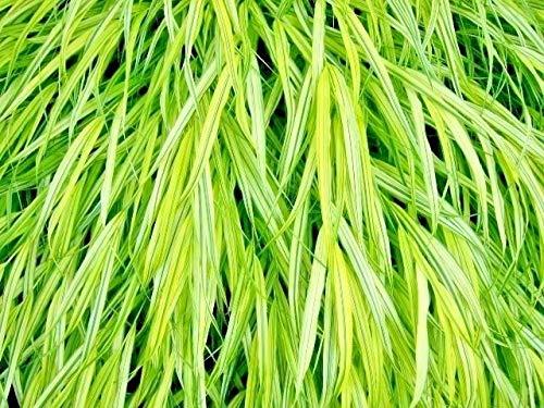 - 30 Aureola Japanese Forest Grass Seeds - hakonechloa macra 'Aureola'