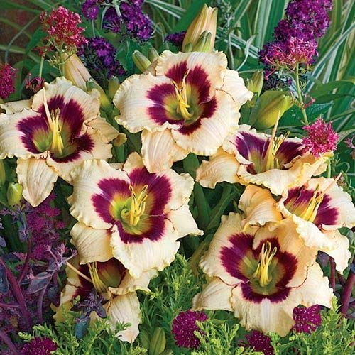 Lily Daylily Blueberry Candy (1 Bare Root)