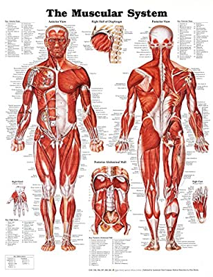 The Muscular System Anatomical Chart Poster Print