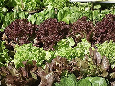 Lettuce Seeds - Mixed Lettuce and Greens - Heirloom Varieties - Liliana's Garden