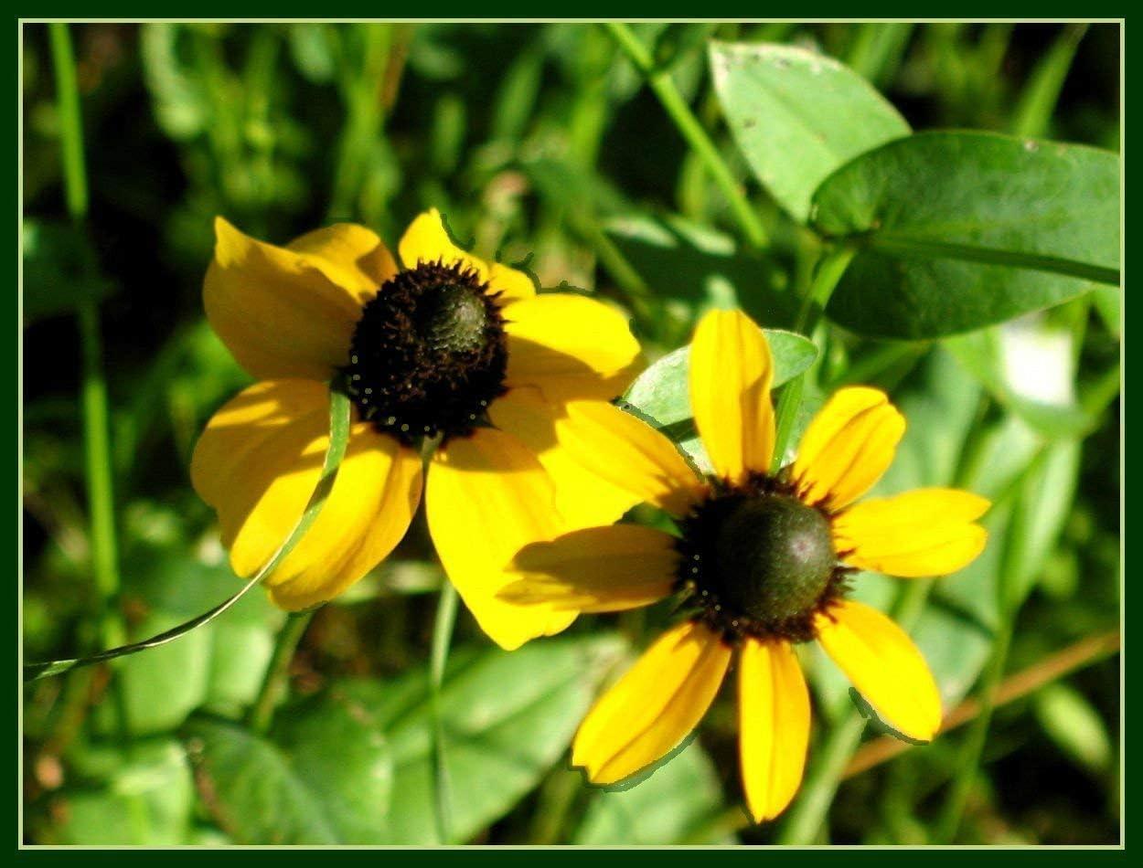 Fash Lady equinácea, HOJA CLASPING, flor amarilla, 2200 SEMILLAS ...