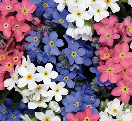 """HEIRLOOM FORGET ME NOT (MYOSITIS SYLVATICA) """"MIXED COLORS"""" EXQUISITE DAINTY FLOWERS IN PLEASING HUES OF BLUE WHITE AND PINK LOVES SHADE APPROX 150 SEEDS"""