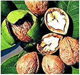 10 x English Walnut, Juglans regia Tree Seeds - Excellent Shade Tree with Edible Rich Flavored Nuts - By MySeeds.Co
