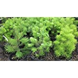 New Green Douglas Fir , Pseudotsuga menziesii viridis , 20 + Tree Seeds (Fragrant Evergreen )