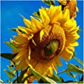 Package of 160 Seeds, Mammoth Grey Stripe Sunflower (Helianthus annuus) Non-GMO Seeds by Seed Needs