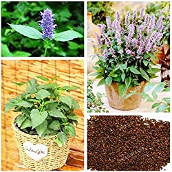 Agastache Rugosa Seeds Rare Patchouli Herb Blue Licorice Seeds Indian Mint Purple Giant Hyssop Seeds For Home Garden100 Pcs