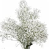GlobalRose 60 Stems of Fresh Cut Gypso Perfecta Fillers - Baby's Breath Fillers - Fresh Flowers Express Delivery