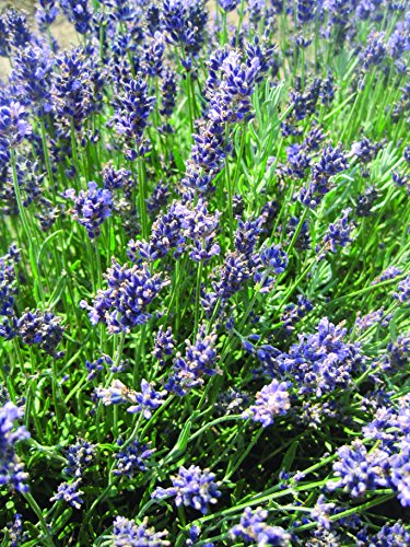 Burpee Lavender 'Superblue' Fragrant Flowers and Foliage, Four 4'' pots by Burpee (Image #2)